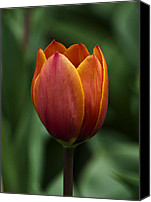 Tulip Stretched Canvas Prints - Head Shot Canvas Print by Dick Jones