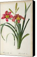 Redoute; Pierre Joseph (1759-1840) Canvas Prints - Hemerocallis fulva Canvas Print by Pierre Joseph Redoute
