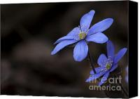 Forest Pyrography Canvas Prints - Hepatica Canvas Print by Arvydas Kantautas