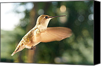 Ruby Throated Canvas Prints - Her Best Side Canvas Print by Bill Pevlor