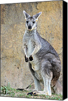 Wallaby Canvas Prints - Her Little Tongue Canvas Print by Jan Amiss Photography