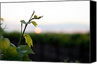 Grapeleaves Canvas Prints - Heralding the Sunset Canvas Print by Randy Bayne