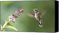 Humming Bird Canvas Prints - Herb and Hum Canvas Print by Veronica Ventress