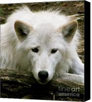 Wolf Photo Shot Canvas Prints - Here S Looking At You Canvas Print by Debra     Vatalaro