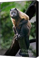 Chimpanzee Canvas Prints - Heres Lookin At You Canvas Print by Kym Clarke