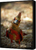 Red Cardinal Canvas Prints - Heres Looking at Ya Canvas Print by Saija  Lehtonen