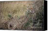 Kenya Canvas Prints - Hiding Cheetah Mother Canvas Print by Darcy Michaelchuk