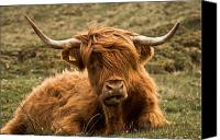 Cow Canvas Prints - Highland Cow Color Canvas Print by Justin Albrecht