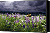 Angry Sky Canvas Prints - Highlander in the Lupine Canvas Print by Wayne King
