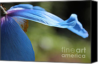 Poppy Petals Canvas Prints - Himalayan Blue Poppy Flower Repose  Canvas Print by Jennie Marie Schell