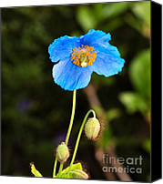 Poppies Canvas Prints - Himalayan Blue Poppy Canvas Print by Louise Heusinkveld