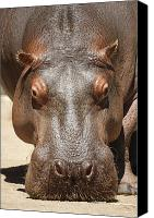 Hippopotamus Canvas Prints - Hippopotamus Canvas Print by Ernie Echols