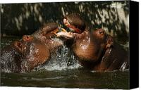 Hippopotamus Canvas Prints - Hippos Having Fun Canvas Print by Ernie Echols