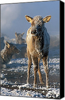 Calf Canvas Prints - Hoarfrosted Elk Calf Canvas Print by Sandra Bronstein