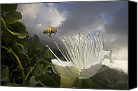 Approaching Canvas Prints - Honey Bee Apis Mellifera Approaching Canvas Print by Mark Moffett