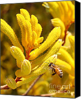 Kangaroo Canvas Prints - Honey Bee with Yellow Kangaroo Paw Flower Canvas Print by Kenny Bosak