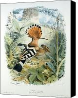 Ornithology Canvas Prints - Hoopoe Canvas Print by Edouard Travies