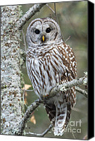Barred Owl Canvas Prints - Hoot Hoot Hoot are You Canvas Print by Reflective Moments  Photography and Digital Art Images