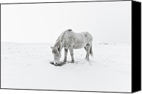 Grazing Canvas Prints - Horse Grazing In Snow Canvas Print by Ingólfur Bjargmundsson