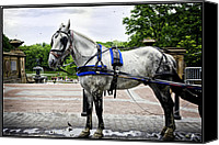 Bethesda Fountain Canvas Prints - Horse in Central Park Canvas Print by Madeline Ellis