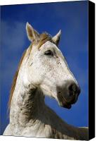 Horse Portrait  Canvas Prints - Horse portrait Canvas Print by Gaspar Avila
