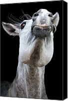 Animal Head Shot Canvas Prints - Horse Pulling Face Canvas Print by Peter Meade