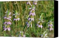 Horsemint Canvas Prints - Horsemint Dream Canvas Print by Whispering Feather Gallery