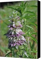 Horsemint Canvas Prints - Horsemint Canvas Print by Robyn Stacey