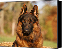 Alsatian Canvas Prints - Hoss in Autumn Canvas Print by Sandy Keeton