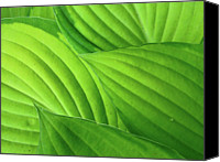 Natural Pattern Photo Canvas Prints - Hosta Leaves Canvas Print by Photograph by Judith Green
