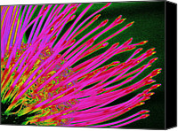 Ranjini Kandasamy Canvas Prints - Hot Pink Protea Canvas Print by Ranjini Kandasamy