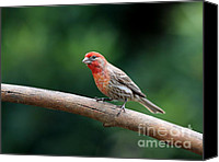 Finches Canvas Prints - House Finch Bird . 40D7316 Canvas Print by Wingsdomain Art and Photography