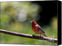 Finches Canvas Prints - House Finch Bird . 40D7605 Canvas Print by Wingsdomain Art and Photography