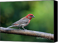 Finches Canvas Prints - House Finch Bird . 40D8331 Canvas Print by Wingsdomain Art and Photography