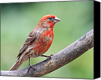 Finches Canvas Prints - House Finch Canvas Print by Wingsdomain Art and Photography