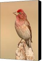 Finch Canvas Prints - House Finch With Crest Askew Canvas Print by Max Allen