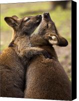 Wallaby Canvas Prints - Hugs Canvas Print by Mike  Dawson