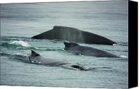Whalen Photography Canvas Prints - Humbacks Whales Young Bay Alaska Canvas Print by Josh Whalen