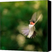 Male Hummingbird Canvas Prints - Hummer 1 Canvas Print by Richard Oliver