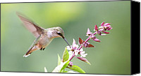Humming Bird Canvas Prints - Hummer and Basil Canvas Print by Veronica Ventress
