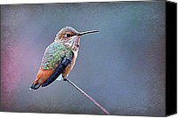 Annas Hummingbird Canvas Prints - Hummer Art 3 Canvas Print by Fraida Gutovich