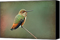 Annas Hummingbird Canvas Prints - Hummer At The Tiptop Canvas Print by Fraida Gutovich