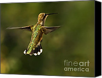 Male Hummingbird Canvas Prints - Hummer Canvas Print by Robert Bales