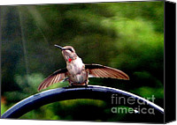 Humming Bird Canvas Prints - Hummingbird Bath Time Canvas Print by Renee Trenholm