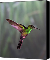 Male Hummingbird Canvas Prints - Hummingbird Canvas Print by David Tipling