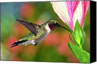 Male Hummingbird Canvas Prints - Hummingbird Feeding On Hibiscus Canvas Print by DansPhotoArt on flickr