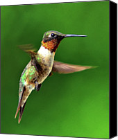 Lush Foliage Canvas Prints - Hummingbird In Mid-air Canvas Print by Jeff R Clow