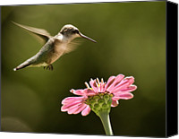 Grace Photo Canvas Prints - Hummingbird Canvas Print by Jody Trappe Photography