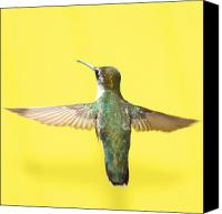 Yellow Canvas Prints - Hummingbird on Yellow 4 Canvas Print by Robert  Suits Jr