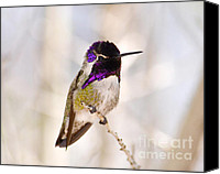 Perch Canvas Prints - Hummingbird Canvas Print by Rebecca Margraf